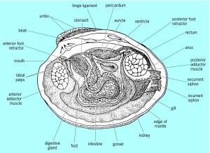 Bivalve-anatomy