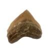 shark-tooth-corax
